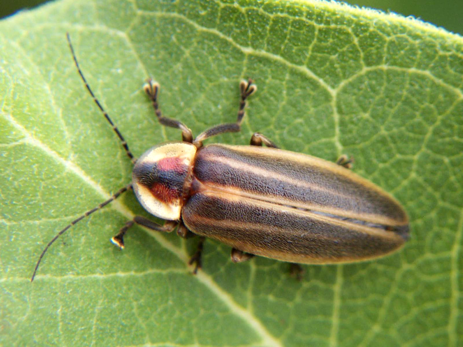 Adult Firefly - Photuris lucicrescens
